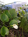 Calla palustris in north-west german bog.jpg