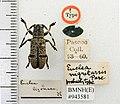 Callimetopus nigritarsis (Pascoe) (5189160879).jpg