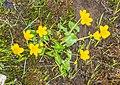Caltha palustris in Avoriaz (2).jpg