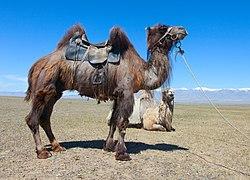Camel1111111 03.jpg