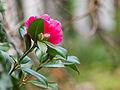 Camellia (6824813222).jpg