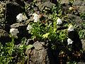 Campanula cochleariifolia white 3.jpg