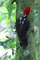 Campephilus guatemalensis CR.jpg