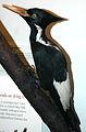 Campephilus principalis (ivory-billed woodpecker).jpg