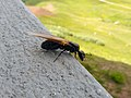 Camponotus herculeanus queen 02.jpg
