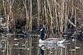 Canada goose lily pond county park (22668472840).jpg