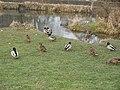 Canards colverts mâles et femelles (Anas platyrhynchos) (2).jpg
