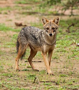 Canis aureus naria in Nationaal Park Yala, Sri Lanka.