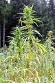 Cannabis sativa - GBA Viote 2.jpg