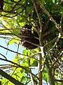 Cape Honey Bee swarm.jpg