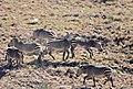 Cape Mountain Zebras (Equus zebra zebra) quarrelling ... (32553811835).jpg