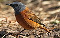 Cape Rock Thrush, Monticola rupestris at Walter Sisulu National Botanical Garden, Johannesburg, South Africa (male) (19421216940).jpg