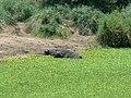 Cape buffalo (393951983).jpg