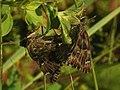 Carcharodus alceae (in copula) - Mallow skipper (mating) - Толстоголовка большая мальвовая (спаривание) (39192893180).jpg