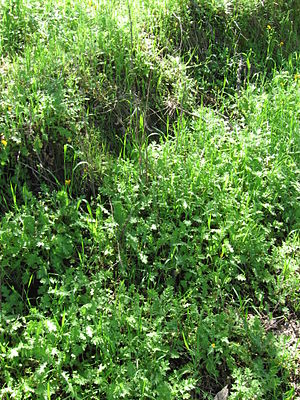 Carduus pycnocephalus - Dense crowding by Italian thistle rosettes.