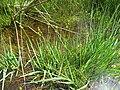 Carex echinata plant (01).jpg