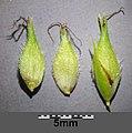 Carex hirta sl23.jpg