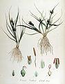 Carex oederi — Flora Batava — Volume v14.jpg