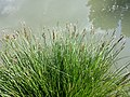 Carex paniculata sl13.jpg