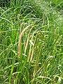 Carex pendula001.jpg