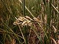 Carex pseudobrizoides inflorescens (6).jpg