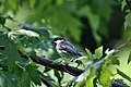 Carolina Chickadee on Branch (4846604307).jpg