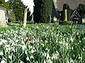 Carpet of snowdrops - geograph.org.uk - 763366.jpg