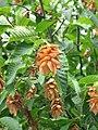 Carpino nero particolare frutti.jpg