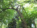 Carpinus caroliniana tree.jpg