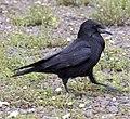 Carrion Crow, Sandwell, Birmingham 2.jpg