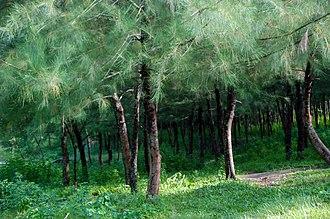 Casuarina equisetifolia - Casuarina equisetifolia tree at Mahamaya Lake