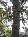 Casuarina equisetifolia at Akola1.jpg