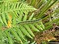 Caterpillar of Broom Moth (Melanchra pisi) - geograph.org.uk - 958931.jpg
