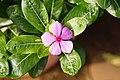 Catharanthus roseuS 9027.jpg