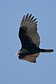 Cathartes aura -Estero Bay, California, USA -flying-8.jpg