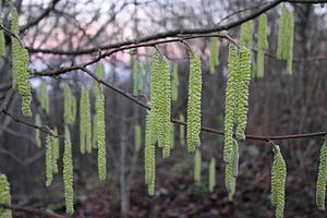 Hazel - Young male catkins of Corylus avellana