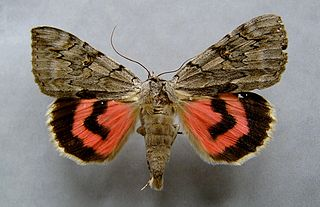 <i>Catocala electa</i> Species of moth