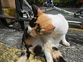 Cats in t1302Cats in the Philippines 18.jpg