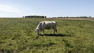 Cattle, Saal (LRM 20200531 162918).jpg
