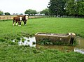 Cattle in Chipping Warden - geograph.org.uk - 460572.jpg