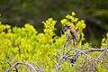 Cedar waxwing (41161316320).jpg