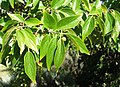 Celtis africana tree foliage South Africa 8.JPG