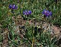 Centaurea triumfettii 3.jpg