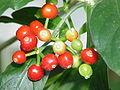 Cephaelis acuminata4.jpg