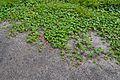 Cephalandra indica - Indian Botanic Garden - Howrah 2012-09-20 0165.JPG