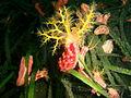 Cercodemas anceps Red box sea cucumber PC260152.JPG