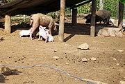 Cerdos (1240780415) Quesada, Alajuela, Costa Rica.jpg