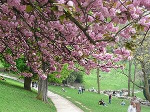 Cerisiers Buttes-Chaumont.jpg