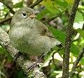Certhidea olivacea - vihreää kaapelia Finch.jpg