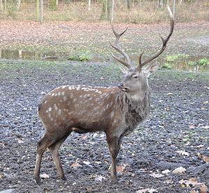 Sika deer - Image: Cervus nippon hortulorum qtl 5